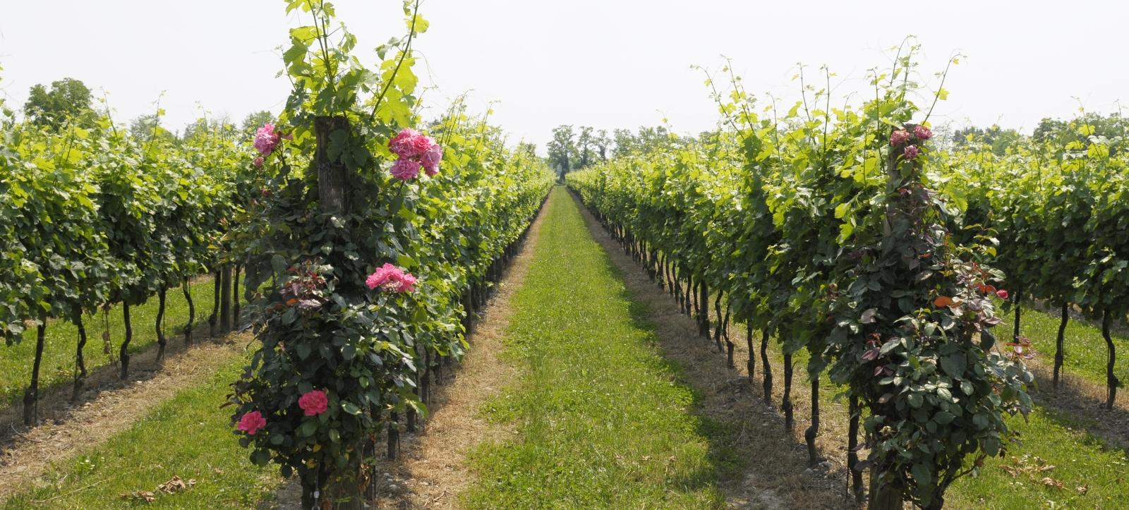 vineyard_friuli_2