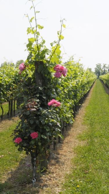 vineyard_friuli_2_mob