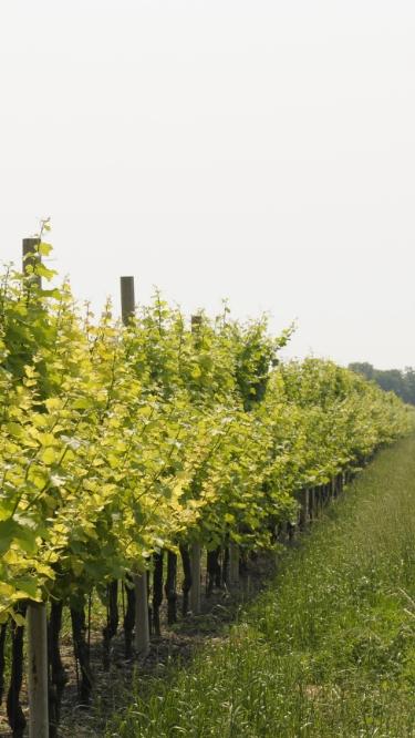vineyard_friuli_6_mob