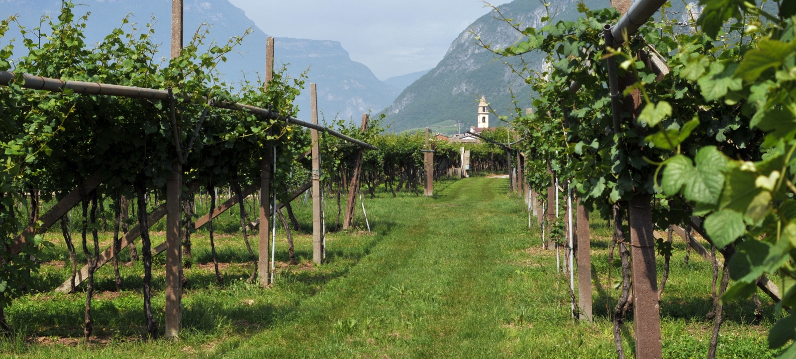 vineyard_trentino_1