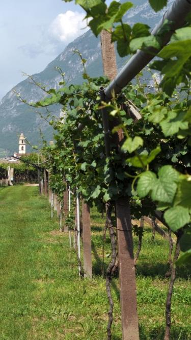 vineyard_trentino_1_mob