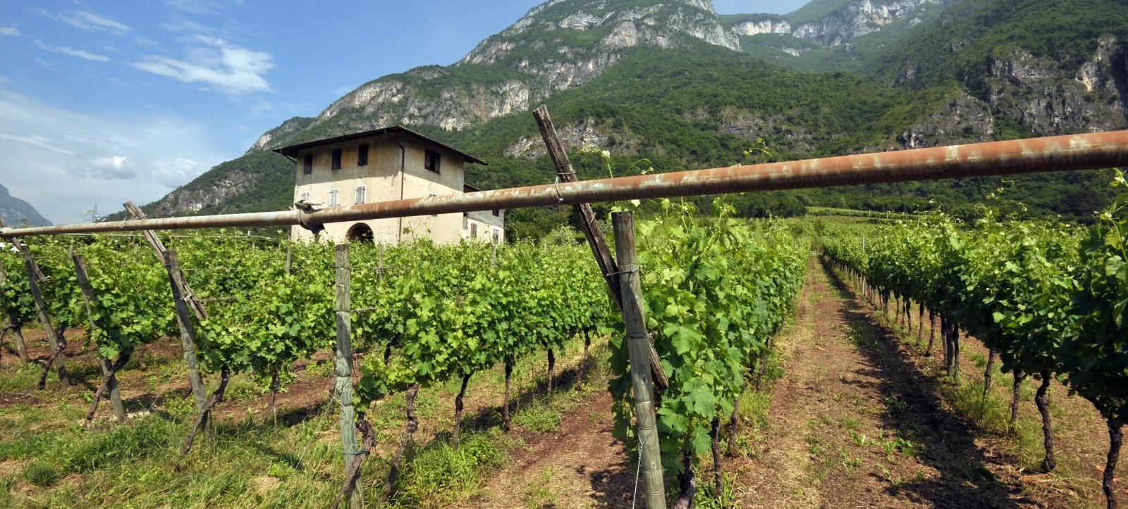 vineyard_trentino_3
