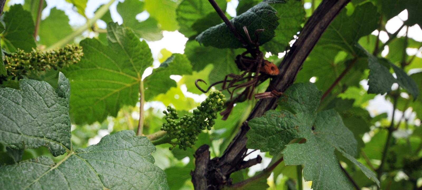vineyard_trentino_4