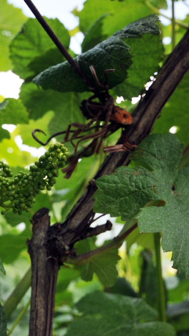 vineyard_trentino_4_mob